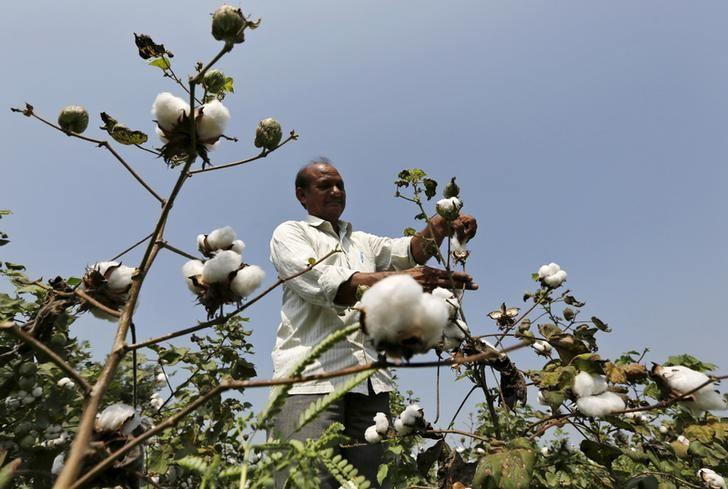 A farmer harvests cotton in his field at Rangpurda village in Gujarat, India, October 20, 2015. REUTERS/Amit Dave/Files