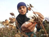 Женщина собирает хлопок у селения Яхак, Таджикистан 10 октября 2013 года. Таджикистан увеличит в этом году площадь земель, отведенных под хлопчатник, на 19 процентов до 190.000 гектаров, сообщило министерство сельского хозяйства. REUTERS/Nozim Kalandarov