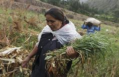 Una mujer cosecha cebada mientras detrás de ella un hombre carga un costal de maíz en las afueras de Cusco.  Imagen de archivo. REUTERS/Janine Costa