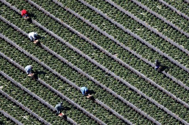 6月17日、2015年は米カリフォルニア州の経済規模がフランスを抜いて世界第6位だったことが明らかになった。同州はシリコンバレーやハリウッドなど多様で力強い経済拠点を保有。深刻な干ばつのなかでも、農業などが好調だったという。写真は農場の様子。オックスナードで昨年2月撮影(2016年 ロイター/Lucy Nicholson)