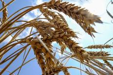 Колосья пшеницы. Николаев, 8 июля 2013 года. Украина прогнозирует экспорт и сбор зерновых в сезоне 2016/17 годов, близкие к рекордным прошлогодним показателям, сообщило Министерство аграрной политики. REUTERS/Vincent Mundy