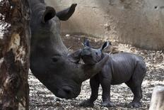 A newborn rhinoceros stands next to its six-year-old mother Keren Peles at the Ramat Gan Safari Zoo near Tel Aviv, Israel August 24, 2015. REUTERS/Nir Elias