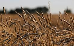Selon la FAO (Organisation pour l'alimentation et l'agriculture), les prix alimentaires mondiaux ont augmenté en août pour atteindre leur niveau le plus élevé depuis mai 2015, poussés par la hausse du prix des produits laitiers, des huiles alimentaires et du sucre. /Photo prise le 28 août 2016/REUTERS/Ilya Naymushin