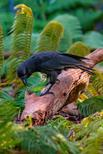 A captive Hawaiian crow using a stick tool to extract food from a wooden log is shown in this image released on September 14, 2016.  Courtesy Ken Bohn/San Diego Zoo Global/Handout via REUTERS