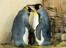Two king penguins and their chick stand in their enclosure in the zoo of Schoenbrunn in Vienna, Austria, September 21, 2016. Picture taken September 21, 2016. Tiergarten Schoenbrunn/Daniel Zupanc/Handout via REUTERS