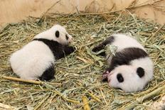Giant Panda twin cubs which were born on August 7, 2016, are seen in a breeding box inside their enclosure at Schoenbrunn Zoo in Vienna, Austria September 28, 2016. Schoenbrunn Zoo/Handout via REUTERS