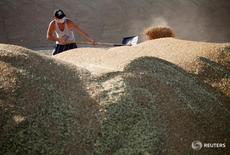 A worker piles wheat grains during wheat harvesting in the settlement of Sredniy in the Stavropol region, Russia, July 7, 2016. Picture taken July 7, 2016. REUTERS/Eduard Korniyenko - RTX2KA1J