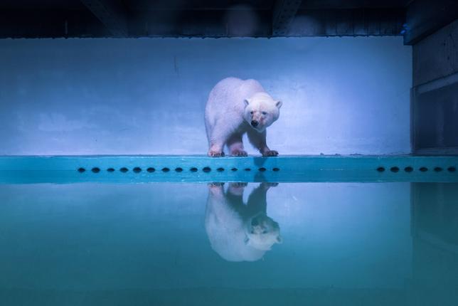11月14日、中国広州にあるショッピングモール内の水族館で飼育され「世界一かわいそうなシロクマ」と呼ばれている3歳のメスのシロクマ「ピッツァ」(写真)について、水族館は、改装に伴い一時的に誕生の地である北東部天津の動物園に移送すると発表した。一方、動物愛護団体は永久に故郷に返すよう求めている。写真は7月撮影(2016年 ロイター)