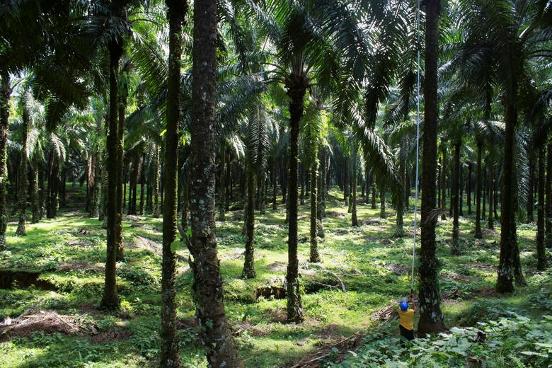 A farmer harvests palm fruits at a palm plantation in Indonesia's North Sumatra province January 12, 2013. REUTERS/Roni Bintang/File Photo