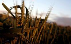 Поле пшеницы в городе Форбс в австралийском штате Новый Южный Уэльс. 27 сентября 2016 года. Австралия, четвертый в мире крупнейший экспортер пшеницы, готовится восстановить свои позиции на азиатских рынках, угрожая поставкам черноморских экспортеров. REUTERS/Jason Reed/File photo