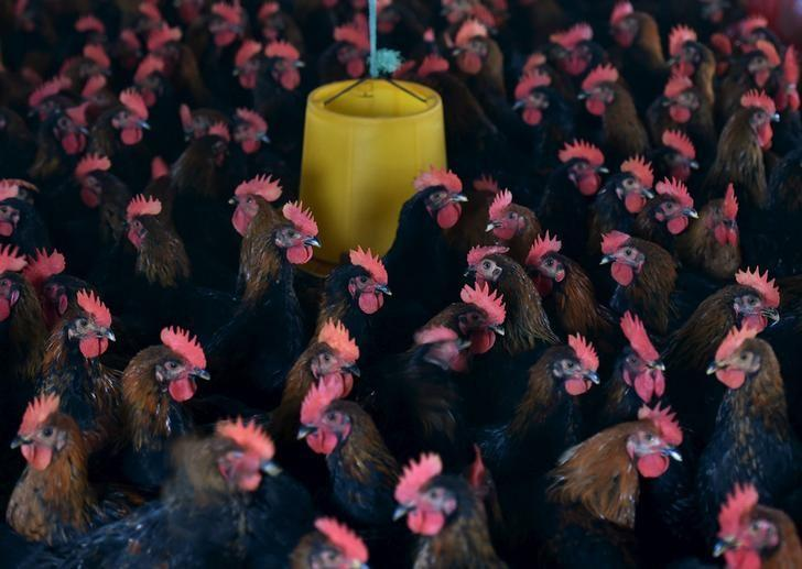 Chickens are seen at a poultry farm on the outskirts of Hefei, Anhui province, November 20, 2015. REUTERS/Stringer/Files