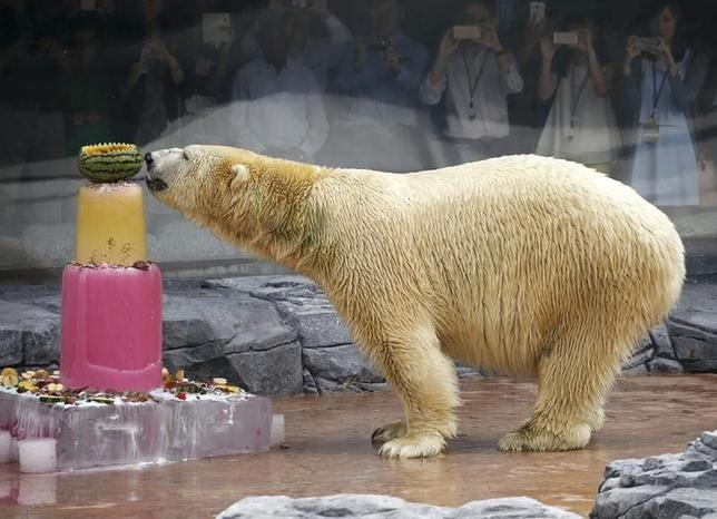 Inuka, the first polar bear born in the tropics, enjoys an ice cake during its 25th birthday celebrations at the Singapore Zoo December 16, 2015. REUTERS/Edgar Su/File Photo