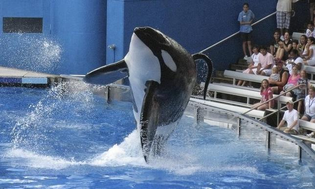 SeaWorld killer whale Tilikum performs during the show ''Believe'' at SeaWorld Orlando in Orlando, Florida, U.S. on September 3, 2009.  REUTERS/Mathieu Belanger/File Photo