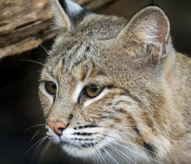 2月1日、米首都ワシントンの国立動物園から脱走していた雌のボブキャット「オリー」が園内で発見された。わずか数時間前、動物園は捜索を断念して情報提供を求めると発表していた。写真は国立動物園提供(2017年 ロイター)