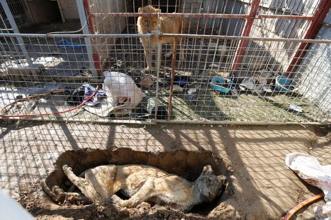 2月2日、イラク政府と過激派組織イスラム国(IS)の戦闘で荒廃したモスルで、破壊された動物園に唯一残っているクマとライオンに、1カ月ぶりに餌が与えられた。クルド系の動物愛護団体からボランティアが派遣された。写真は死んで墓に入れられた雌ライオンをみるライオン(2017年 ロイター/Muhammad Hamed)