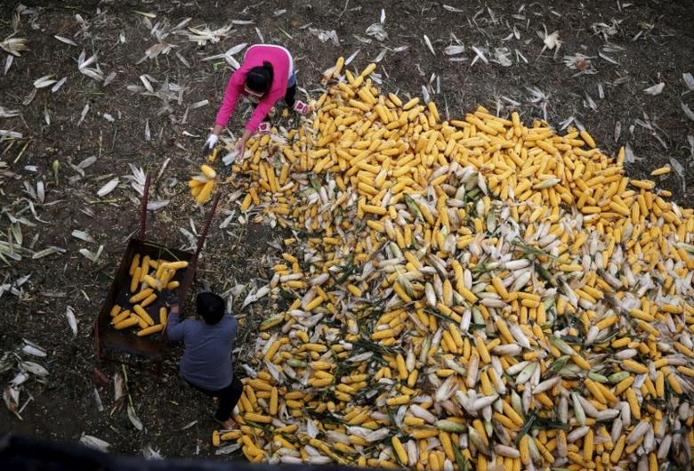 FILE PHOTO: Farmers collect corn for a cargo at a farm in Gaocheng, Hebei province, China, September 30, 2015. REUTERS/Kim Kyung-Hoon/File Photo