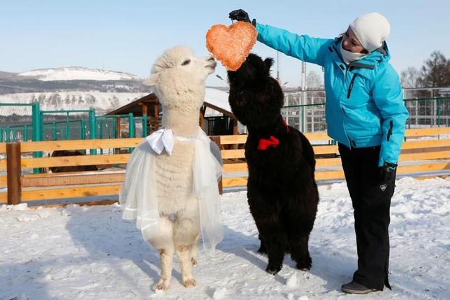 2月14日、ロシアのシベリア中部、クラスノヤルスクにあるロエフ・ルチェイ動物園で、バレンタインデーを祝って、飼育係がアルパカのカップルにハート型のパイをプレゼントした(2017年 ロイター/Ilya Naymushin)