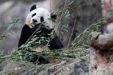 الباندا باو باو تتناول ساق بامبو في حديقة الحيوان الوطنية بواشنطن يوم الخميس. تصوير: ارون بيرنشتاين - رويترز.