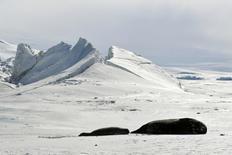 La extensión de hielo marino ártico y antártico el mes pasado fue la menor en los registros de enero, dijo el viernes la Organización Meteorológica Mundial (OMM), mientras que la concentración de dióxido de carbono en la atmósfera alcanzó un récord. En la imagen, focas en una zona congelaza en la Antártida, el 12 de noviembre de 2016.  REUTERS/Mark Ralston/Pool/File Photo