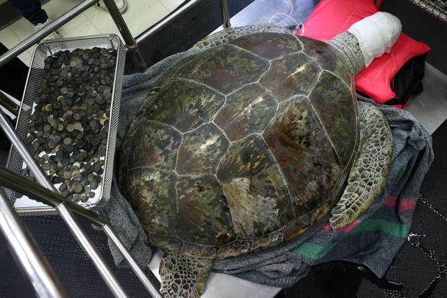 3月6日、タイのチョンブリー県シーラーチャーにある動物保護センターで飼育されている25歳の雌のアオウミガメが、915枚のコインなどを飲み込んで重さのため泳げなくなり、7時間に及ぶ除去手術を受けた。写真は手術後のカメと体内から除去されたコイン(2017年 ロイター/Athit Perawongmetha )