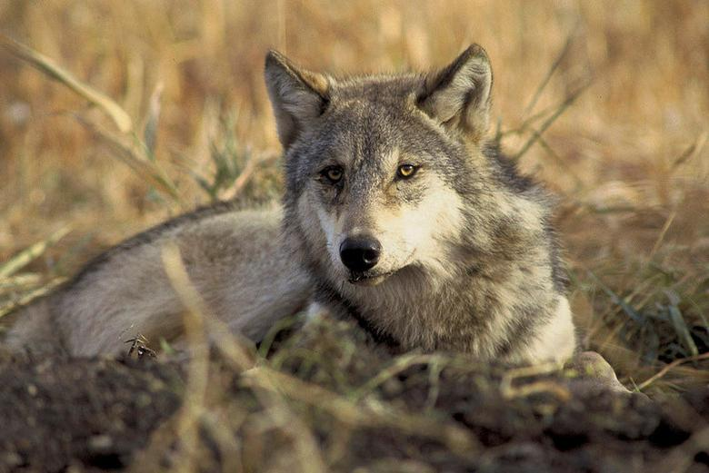 FILE PHOTO: A handout photo of an endagerered gray wolf from the U.S. Fish and Wildlife Service/Handout via Reuters/File Photo