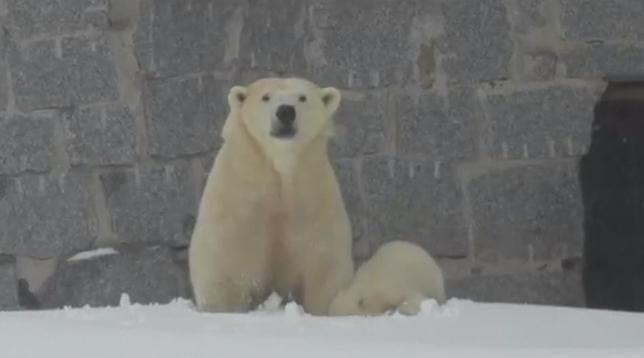 3月15日、北欧フィンランドのラヌア動物園で、昨年11月に生まれたシロクマの赤ちゃんが、初めて外に出て雪の中を元気に遊んだ。写真はALL ABOUT LAPLAND提供のロイタービデオの映像から(2017年 ロイター)