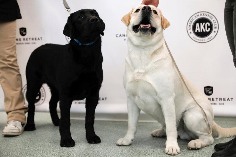labrador retriever still leads the pack of most popular u s dogs