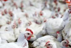 Gallinas en un criadero en la ciudad de Lapa en Brasil. 31 de mayo de 2016. México suspendió desde el 19 de marzo las importaciones de productos avícolas de Brasil, dijo el martes la Secretaría de Agricultura, en medio de un escándalo de corrupción y la supuesta venta de carne en mal estado del país sudamericano. REUTERS/Rodolfo Buhrer