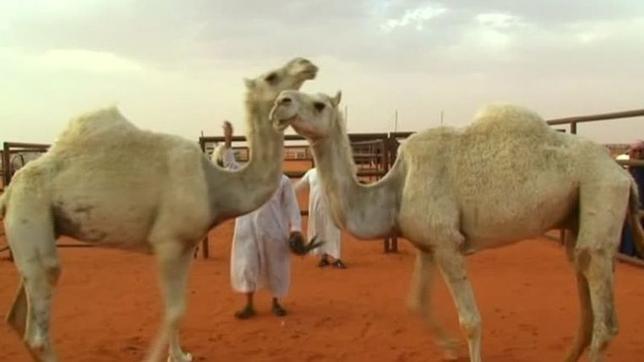 4月3日、サウジアラビアで毎年恒例のラクダ祭りが開催され、5万頭以上が参加するラクダの「美人コンテスト」が行われている。今年の賞金総額は、過去最高の3100万ドル(約34億円)相当だという。写真はロイタービデオの映像から(2017年 ロイター)