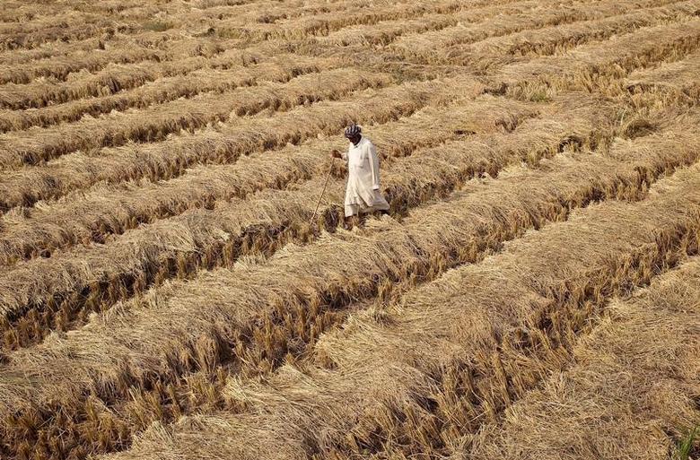 A farmer walks through a paddy field on the outskirts of Jammu, November 19, 2016. REUTERS/Mukesh Gupta/Files