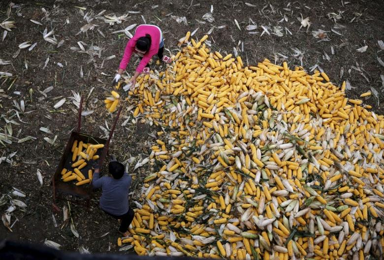 Farmers collect corn for a cargo at a farm in Gaocheng, Hebei province, China, in this September 30, 2015 file photo. REUTERS/Kim Kyung-Hoon/File Photo