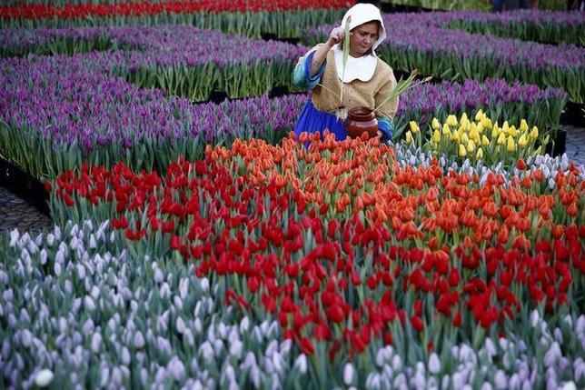 4月24日、オランダでは名物のチューリップが満開を迎え、多くの観光客がハーグにあるキューケンホフ公園のフラワーガーデンを訪れているが、チューリップ農家は球根収穫のため、4月が終わるころには美しい花を切り落とし、残った茎や葉を枯れさせる。写真は昨年1月にアムステルダムで撮影(2017年 ロイター/Michael Kooren)