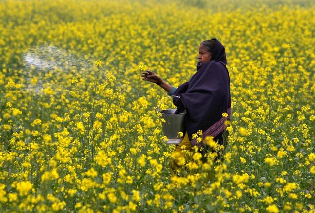 A farmer casts urea on her mustard field in the northern Indian city of Allahabad January 12, 2015. REUTERS/Jitendra Prakash/Files