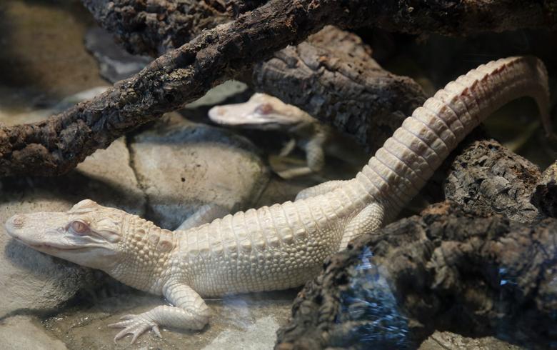 Albino alligators are seen in a vivarium at the Tropical aquarium in Paris, February 12, 2014. REUTERS/Philippe Wojazer