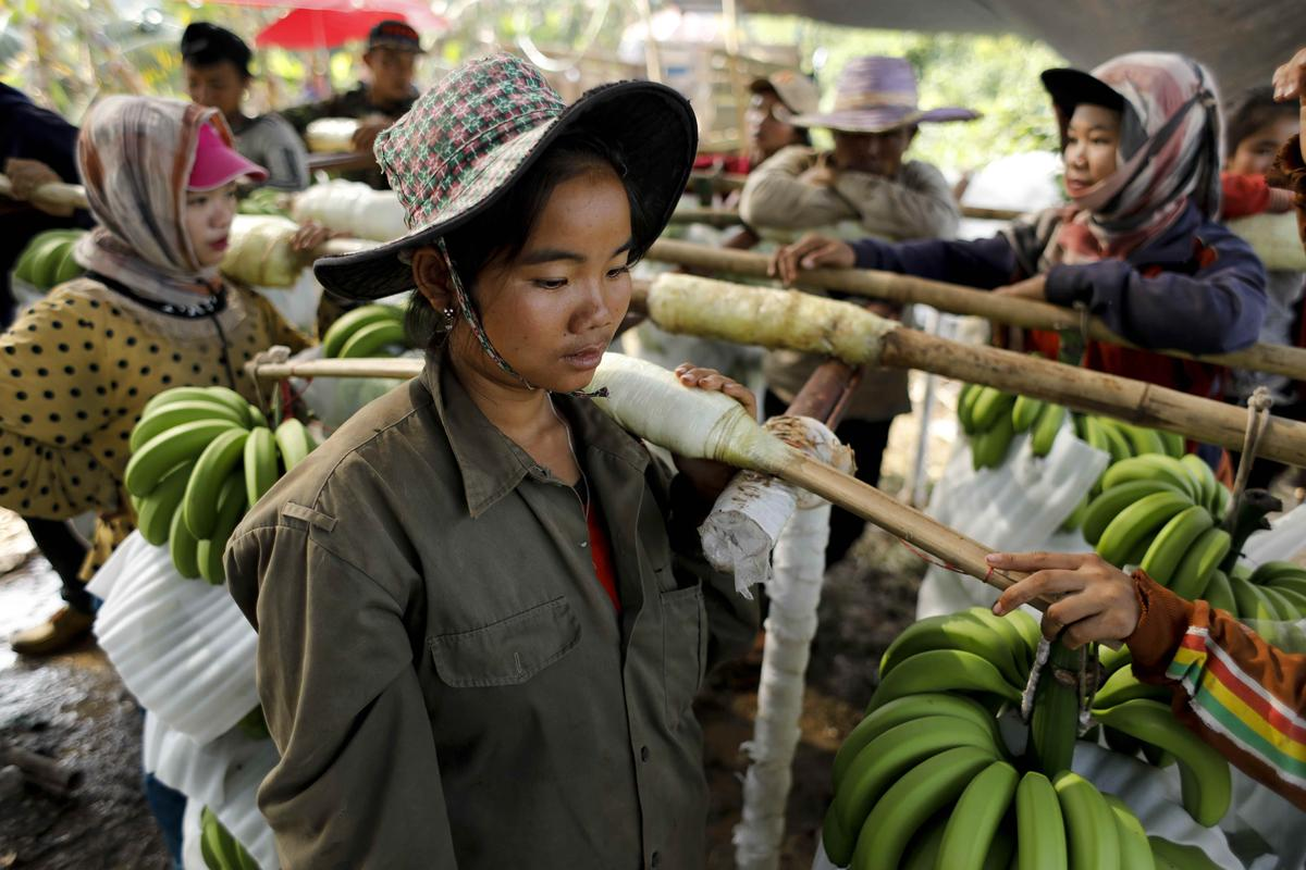 Cash and chemicals: for Laos, Chinese banana boom a blessing and