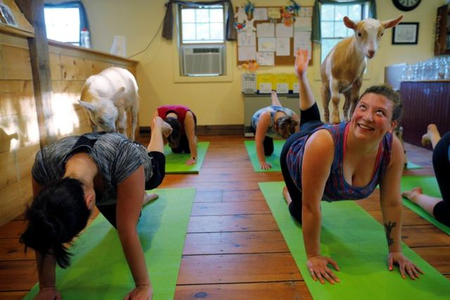 Goats climb on students during a yoga class with eight students and five goats at Jenness Farm in Nottingham, New Hampshire, U.S., May 18, 2017.   REUTERS/Brian Snyder