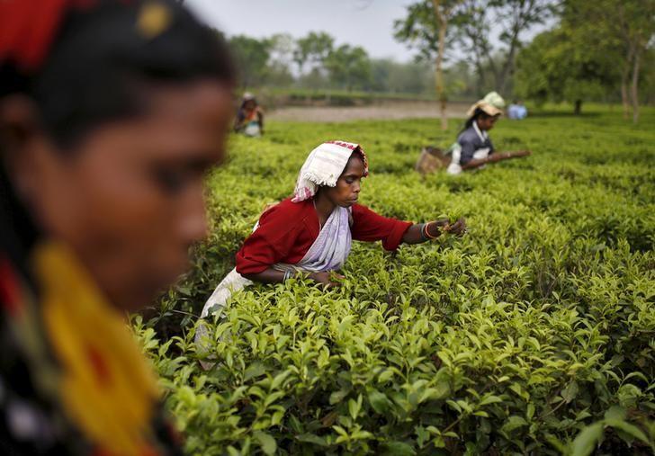 Tea garden workers pluck tea leaves inside Aideobarie Tea Estate in Jorhat in Assam, India, April 21, 2015. REUTERS/Ahmad Masood/Files