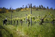 Un hombre trabaja en un viñedo en el valle de Casablanca, al oeste de Santiago, Chile. 30 de octubre 2015.La producción manufacturera en Chile se contrajo un inesperado 7,5 por ciento en abril, en su peor desempeño interanual desde el 2010, debido a un marcado retroceso en la producción de vinos y a menos días laborales, lo que pondría una fuerte presión a la actividad doméstica del cuarto mes. REUTERS/Ivan Alvarado - RTX1VISA