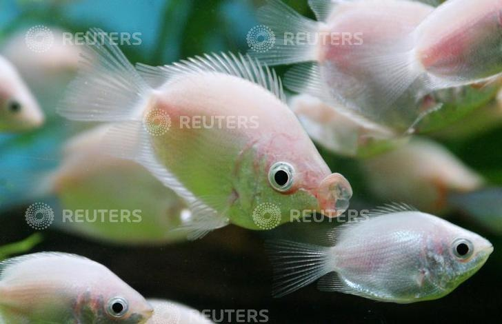 A tropical ''kissing fish'', locally called ''Jie wen yu,'' puckers its lips at a pet shop in Shanghai February 14, 2005. REUTERS/Claro Cortes IV CC/AT/File Photo