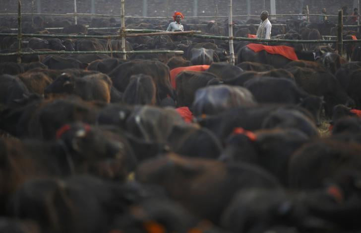 Herders work inside an enclosure for buffalos awaiting sacrifice on the eve of the sacrificial ceremony for the ''Gadhimai Mela'' festival in Bariyapur November 27, 2014. REUTERS/Navesh Chitrakar/Files