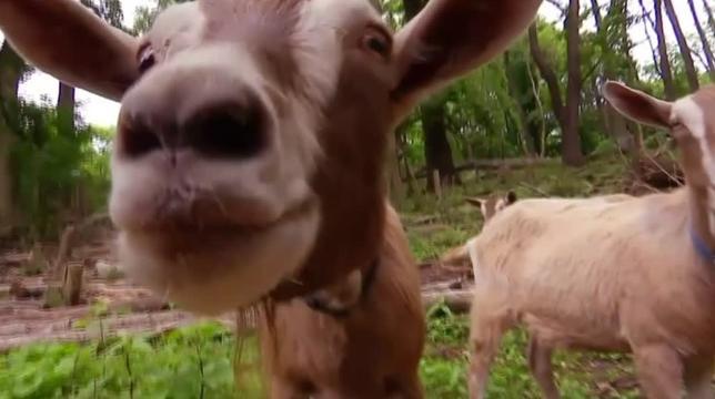 6月9日、米ニューヨークのブルックリン地区では、嵐でなぎ倒された公園の木々を復活させるためのプロジェクトに、4匹のヤギが除草のため参加している。写真はロイタービデオの映像から(2017年 ロイター)