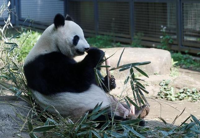 6月12日、東京上野動物園の11歳のメスのジャイアントパンダ「シンシン」(写真)が12日出産した。動物園が発表した。写真は先月19日撮影(2017年 ロイター/Issei Kato)
