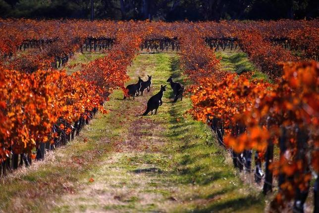 6月13日、オーストラリアのノーザン・テリトリーで、野良猫などの有害動物から絶滅の危機にある野生動物を保護するため、長さ185キロにおよぶ電気フェンスの設置が開始された。写真は10日アデレード近郊で撮影されたカンガルー(2017年 ロイター/David Gray)