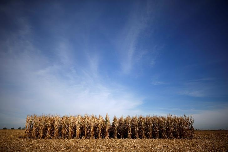 FILE PHOTO: Rows of corn wait to be harvested in a field in Minooka, Illinois, September 24, 2014.     REUTERS/Jim Young/File Photo