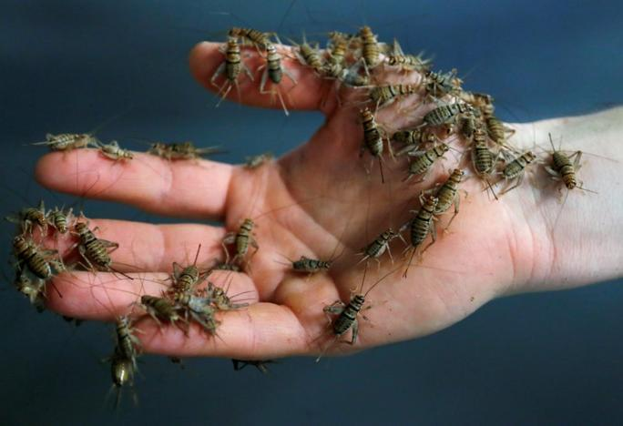 A worker shows crickets at a farm belonging to company 'Little Food,' which prepares and promotes food products made from crickets, in Brussels, Belgium June 9, 2017. Francois Lenoir