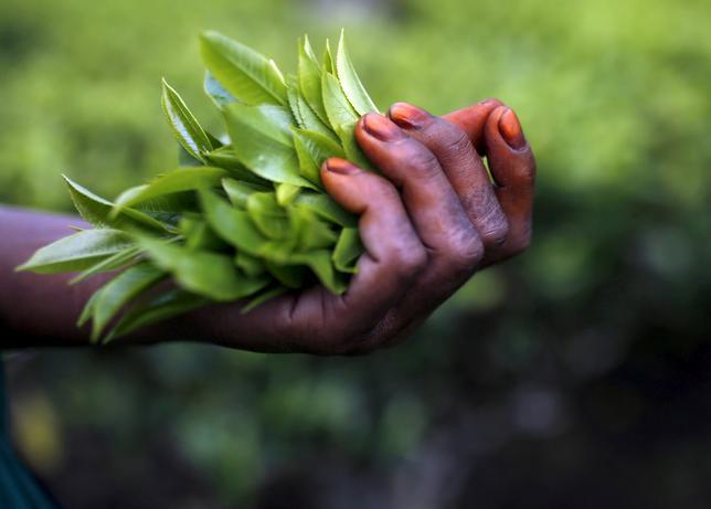 7月6日、紅茶の一大産地であるインド西ベンガル州ダージリン丘陵で民族紛争が発生し、世界最高級の茶葉であるセカンドフラッシュ(夏摘み茶)が収穫できず、欧州への提供が滞っている。写真は2015年4月撮影(2017年 ロイター/Ahmad Masood)