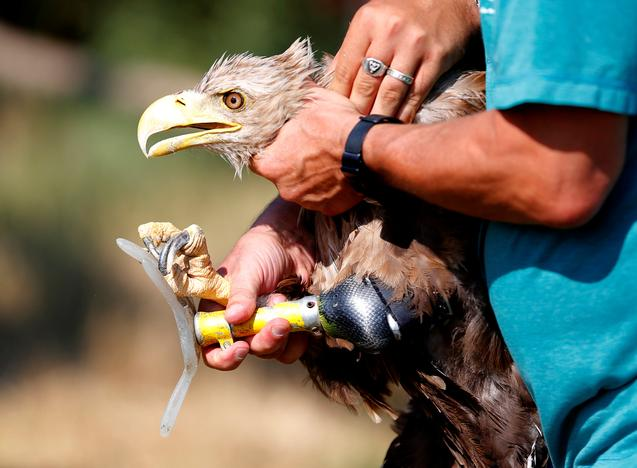 Hungarian veterinarian Janos Deri examines an eagle, which received a prosthetic leg, in an outdoor recovery center at a hospital for wild birds in Hortobagy National Park, Hungary, June 27, 2017. Laszlo Balogh