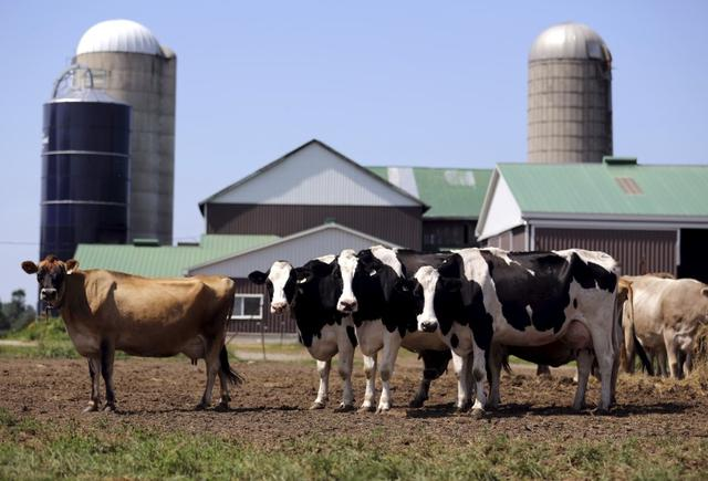 FILE PHOTO - Dairy cows stand in a field near Stayner, Ontario July 26, 2015. REUTERS/Chris Helgren