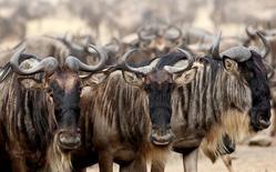 حيوانات النو أو الجاموس الأفريقي خلال الهجرة السنوية في ماساي مارا جنوب غرب نيروبي عاصمة كينيا - صورة من أرشيف رويترز.
