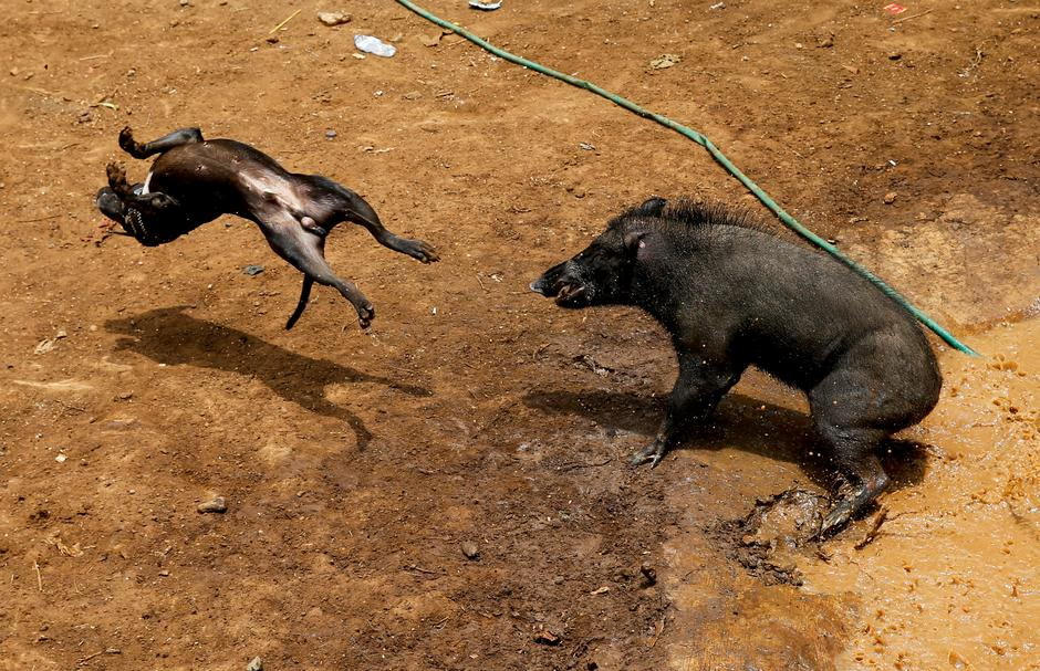 bloody spectacle n villages pit wild boars against dogs a dog and wild boar fight during a contest known locally as adu bagong boar fighting in cikawao village of majalaya west java province